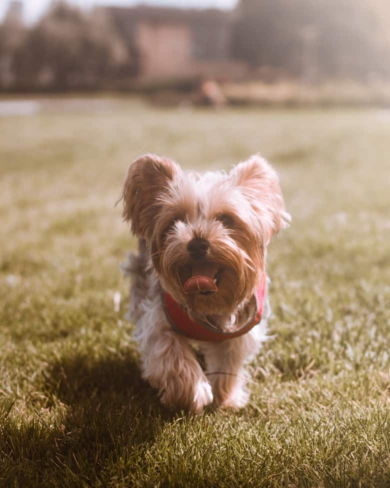 A Yorkie running in the grass