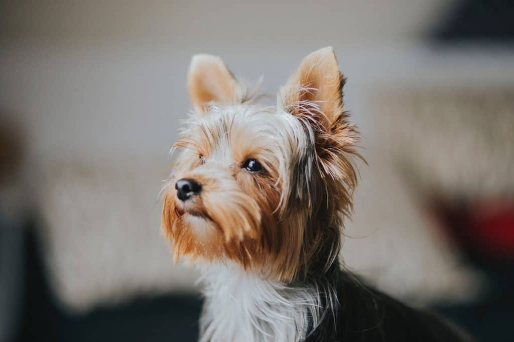 A Yorkie sits by the window