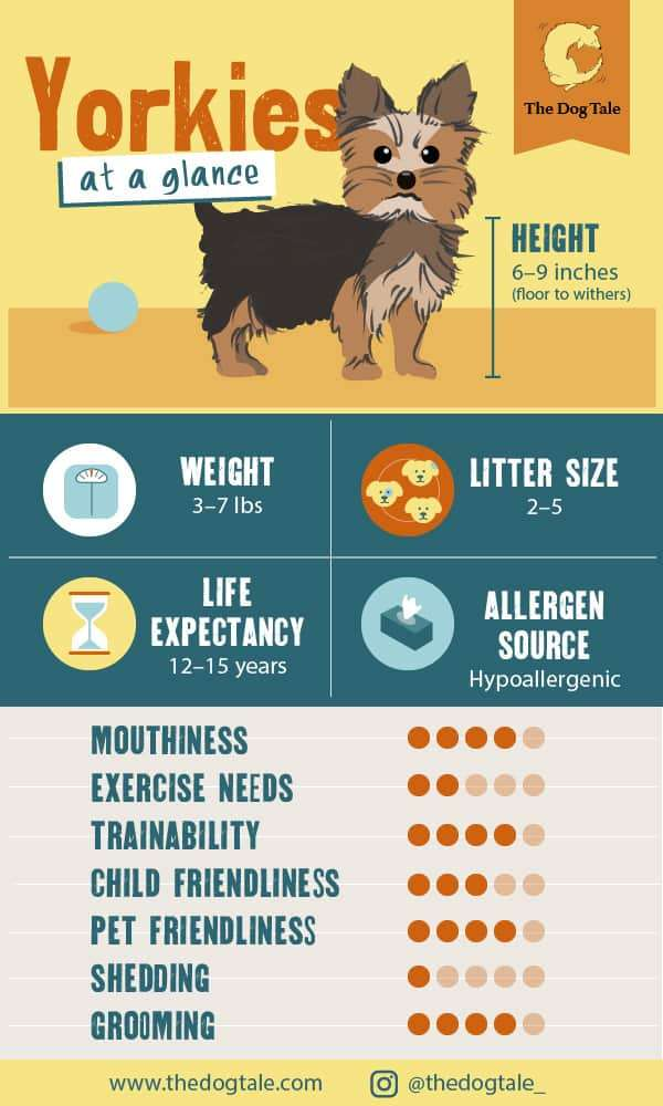 This Yorkie characteristics chart shows the Yorkie's basic stats: Height: 6–9 inches (floor to withers) Weight: 3–7 lbs Life Expectancy: 12–15 years Allergen Source: Hypoallergenic Litter Size: 2–5 Mouthiness: high Exercise Requirements: low Trainability: high Child Friendliness: moderate Pet Friendliness: high Shedding: very low Grooming: high