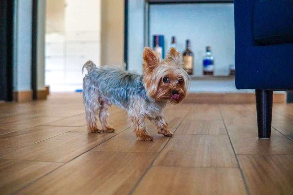 Picture of a Yorkie puppy standing next to the living room sofa