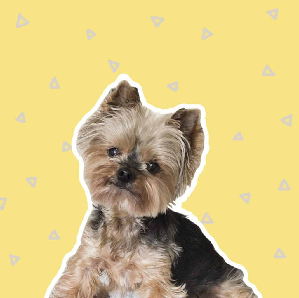 3 Best Yorkie Haircuts For Active Pups The Dog Tale