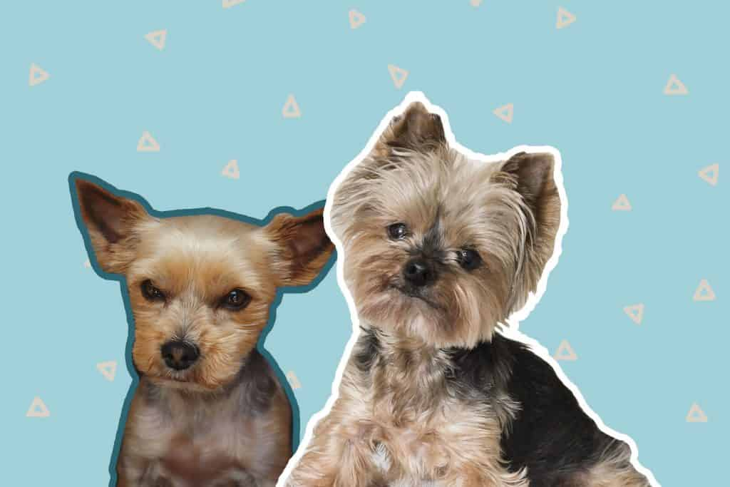 Yorkie haircuts: the best haircuts for active Yorkie puppies