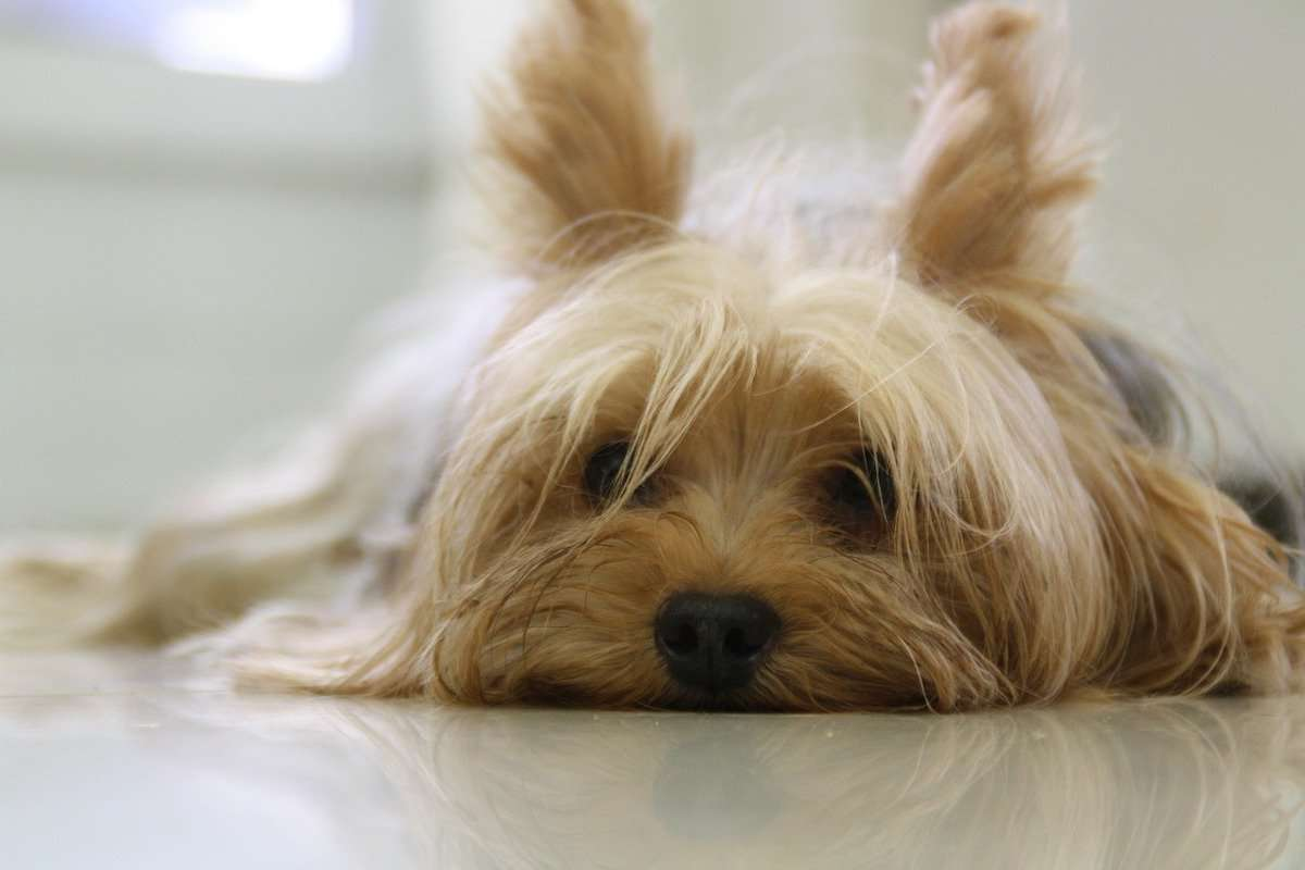 How to Fix Yorkie Dry Skin, Itching, Bumps & Other Conditions