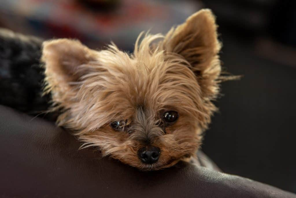 Yorkie Tear Stains: How to Safely Clean Yorkie Eye Discharge