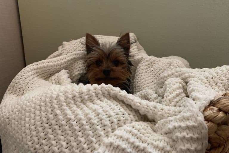 A picture of Max the Yorkie recovering from some health issues