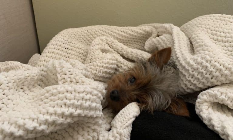 Learn how to treat and prevent Yorkie separation anxiety