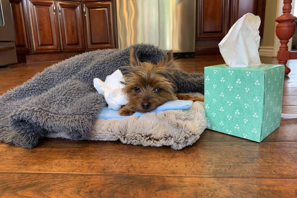 A picture of Max the Yorkie recovering from some allergies