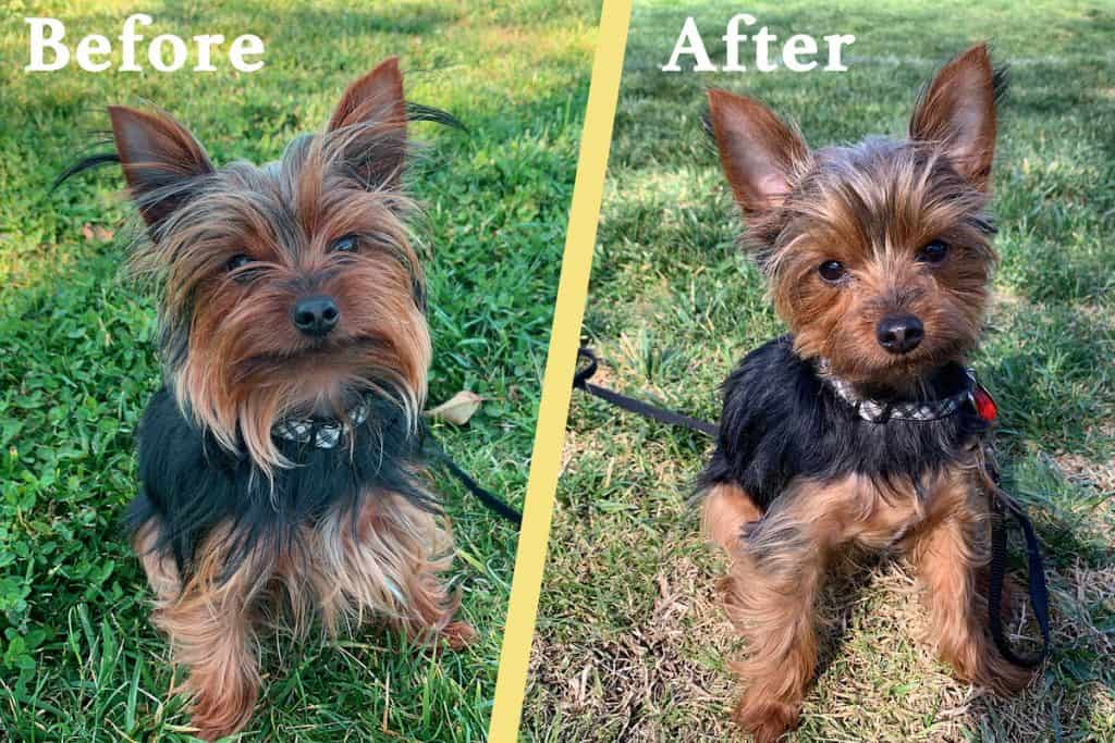 Yorkie Puppy Cut Tips Diy Instructions The Dog Tale