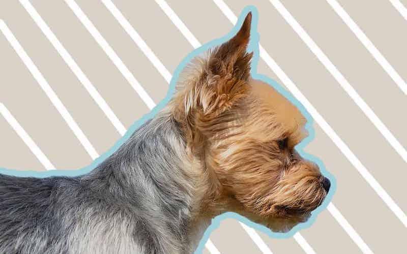 Headshot of a Yorkie puppy cut