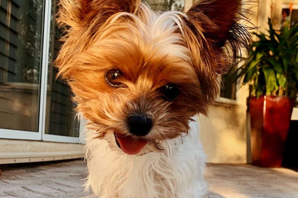Picture of a white Yorkie