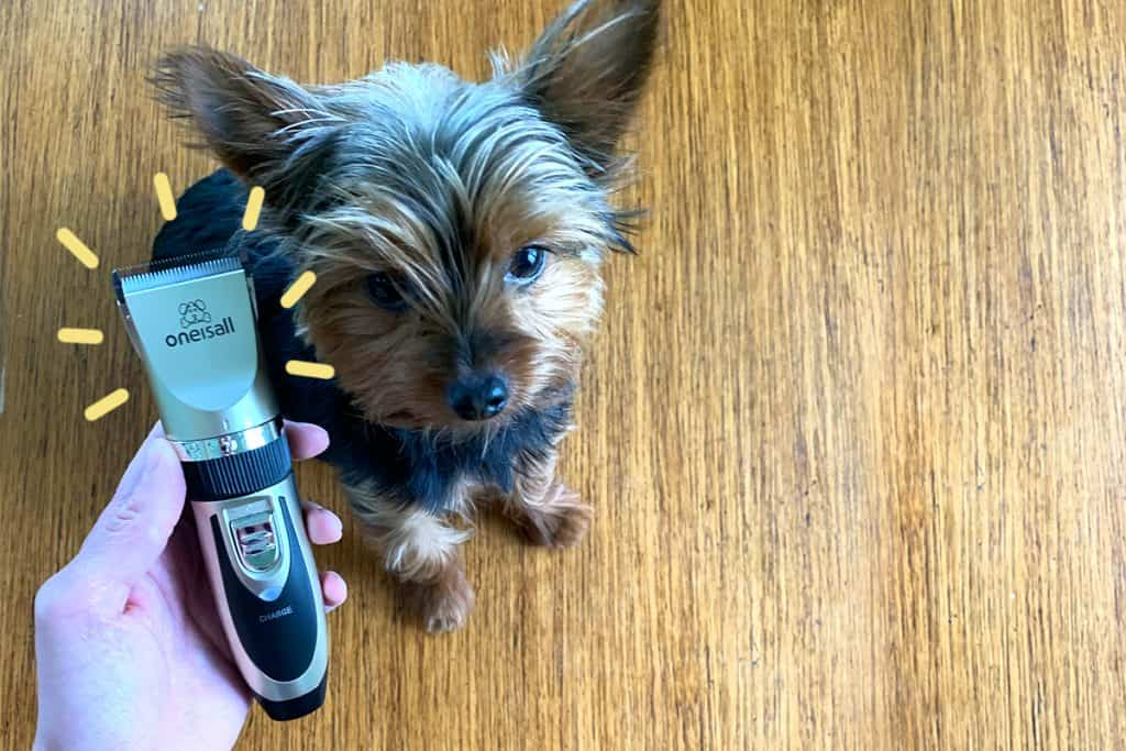 Max the Yorkie testing the best dog clippers