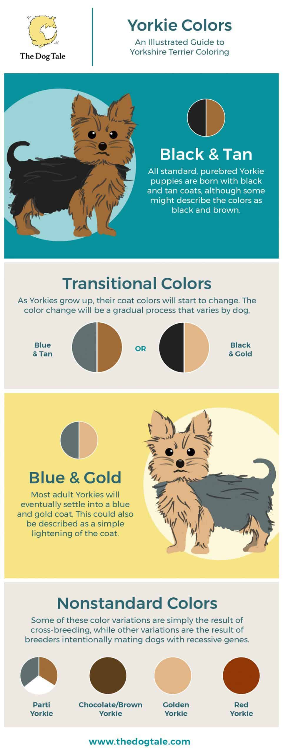 Yorkie Colors An Illustrated Guide To Yorkshire Terrier Coloring