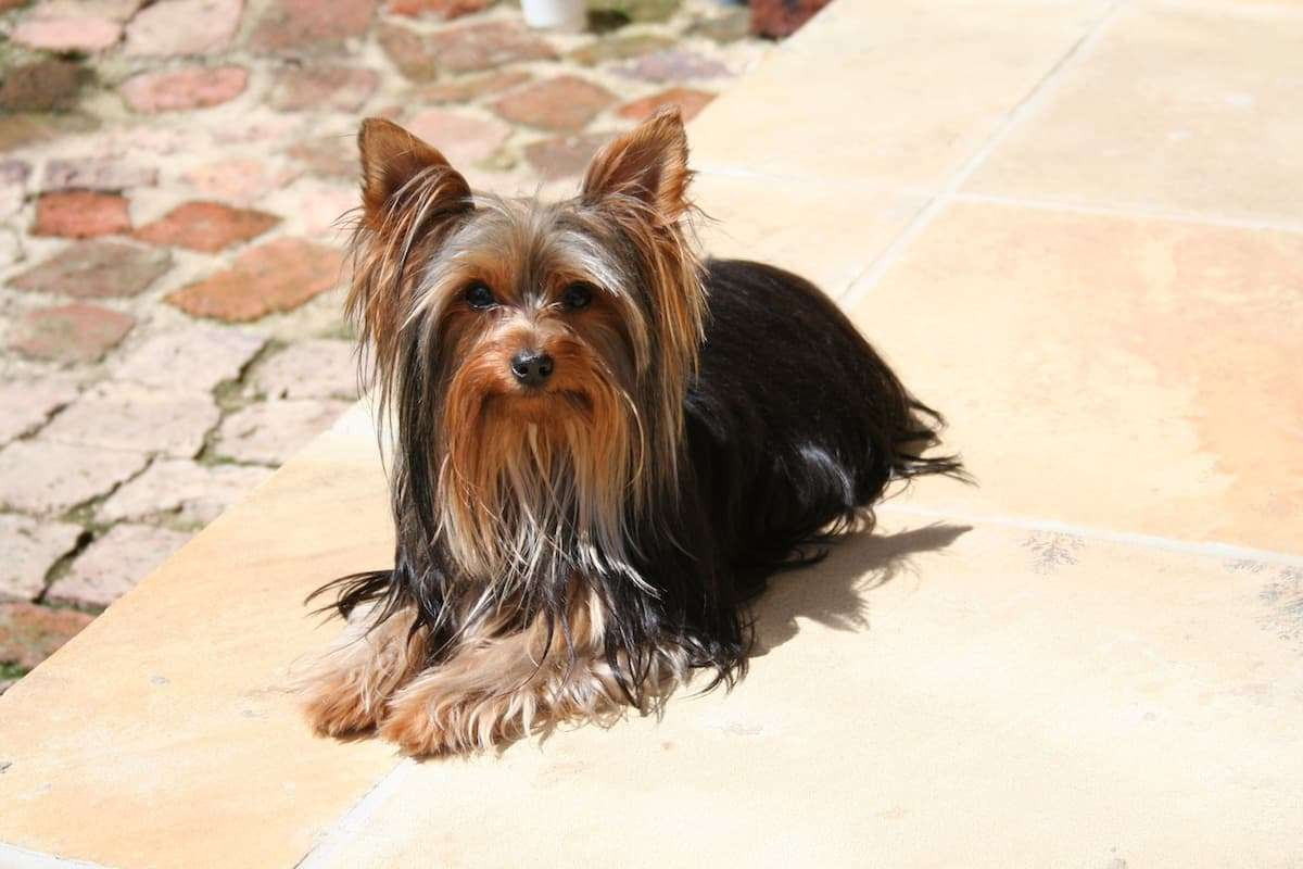 Yorkie colors may include black, tan, blue, and gold