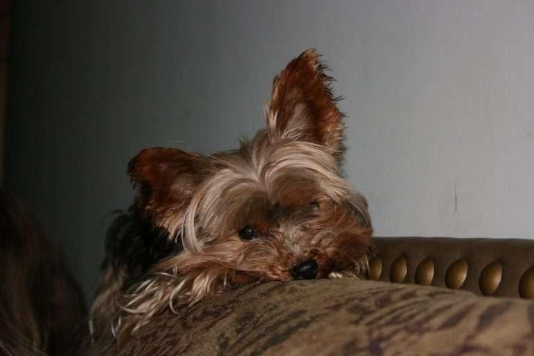 A sad Yorkie with ear mites