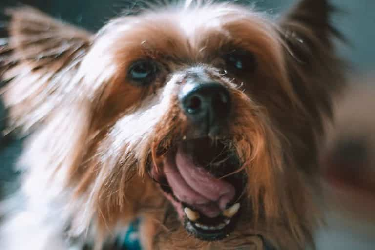 Yorkie Bad Breath