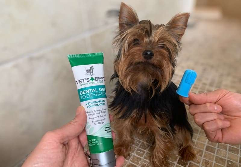 Max the Yorkie likes to keep his teeth clean