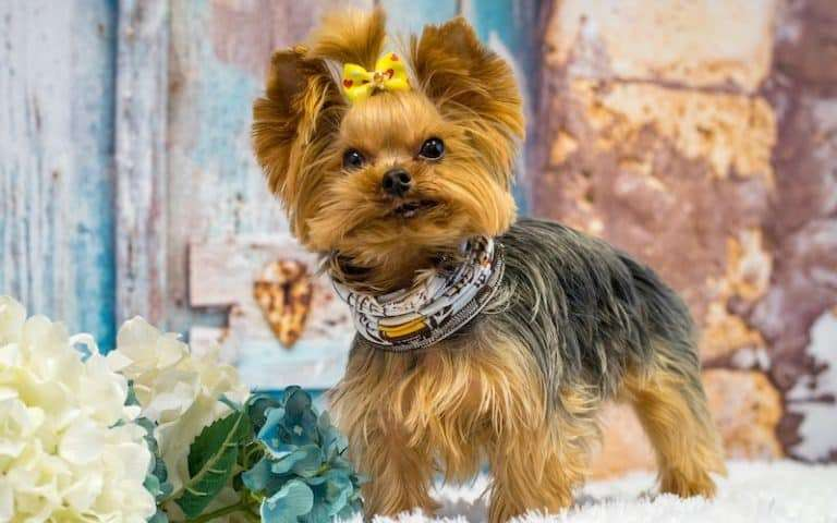 Teacup Yorkie Life Expectancy