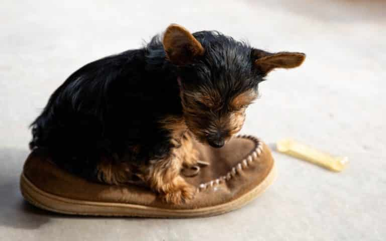 A Yorkie puppy who hasn't been trained where to potty