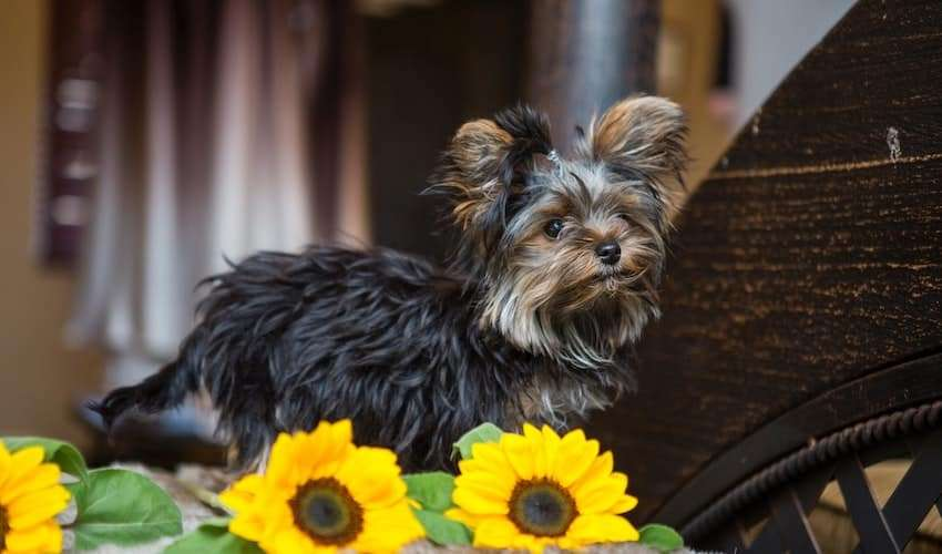 A stinky Yorkie sitting next to some flowers
