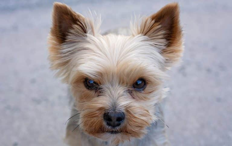 Yorkies bark a lot, but there are ways to stop them