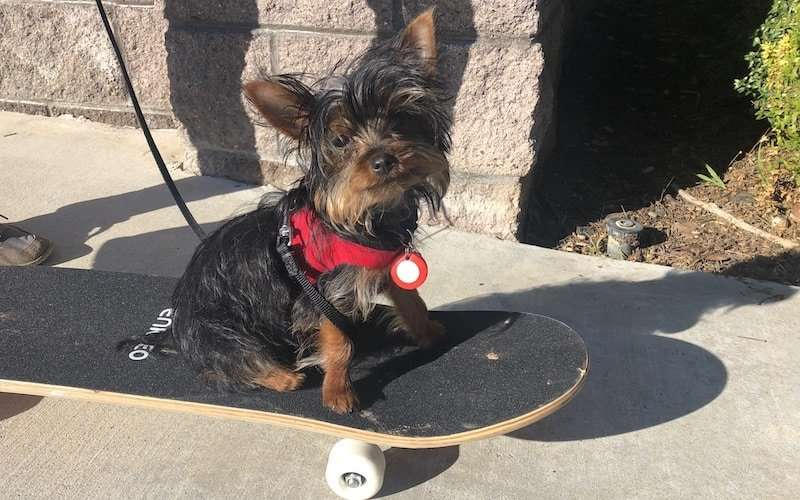 Training Max the Yorkie puppy to do tricks