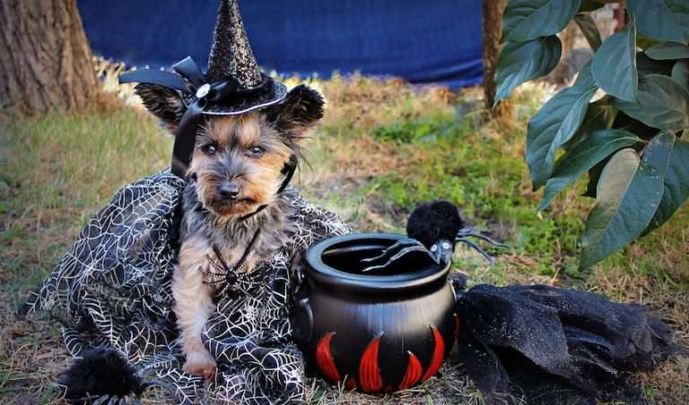 Yorkie in a Halloween dog costume