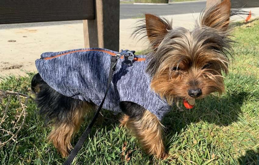 Yorkie wearing a cold-weather dog harness
