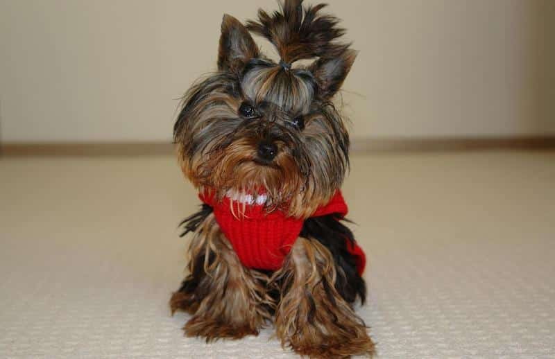A Yorkie wearing a red sweater and hair bow
