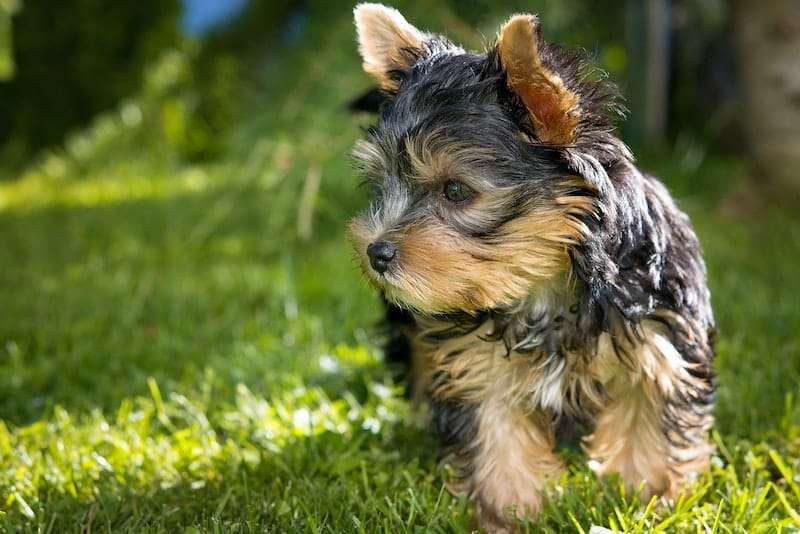 A Yorkshire Terrier playing games in the yard