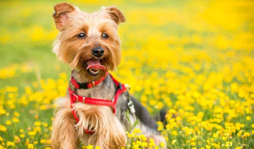What do you need for a Yorkie Puppy