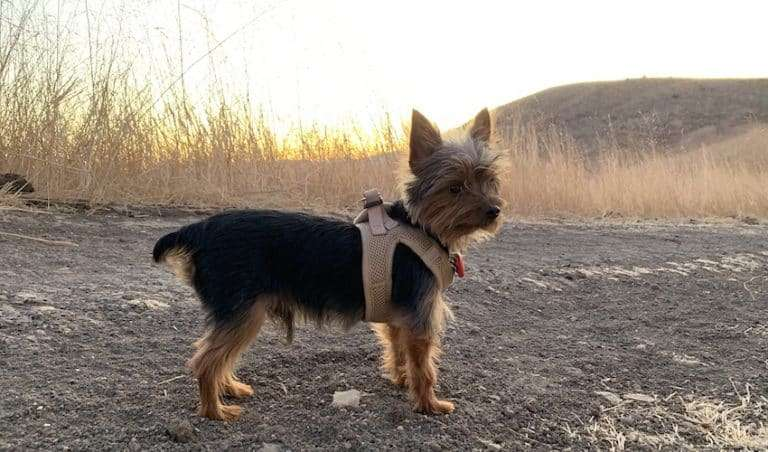Max the Yorkie running on a trail