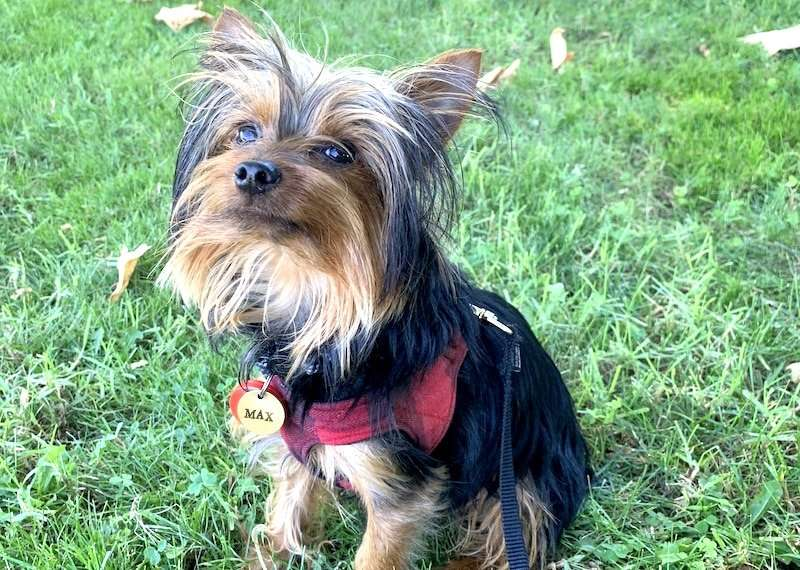 Our Yorkie Named Max