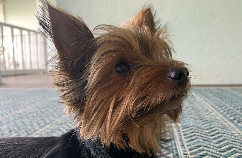 Max the Yorkie getting ready to have his ears cleaned