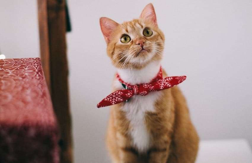 Orange tabby cat wearing a red bandanna. Does the Farmer's Dog make cat food?