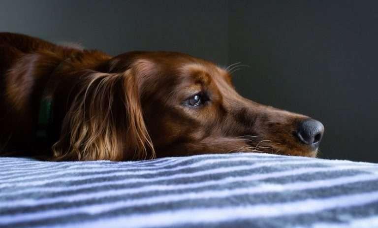 A sad dog that won't eat after surgery