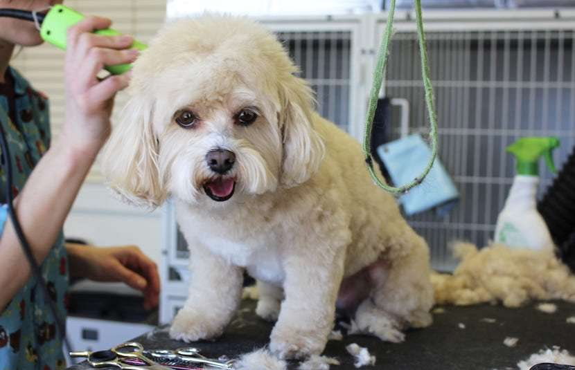 A small white dog getting their hair cut by a pair of green dog clippers